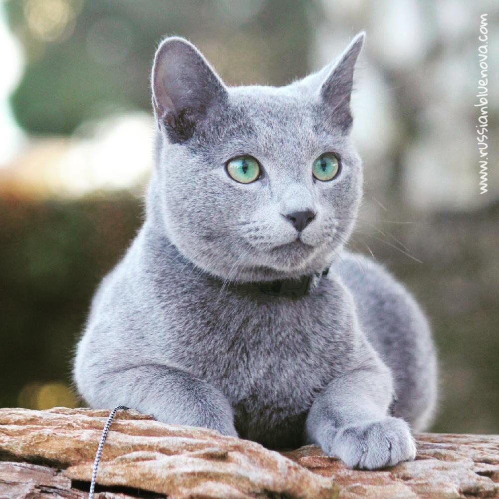 Gato azul ruso Barcelona russian blue 06