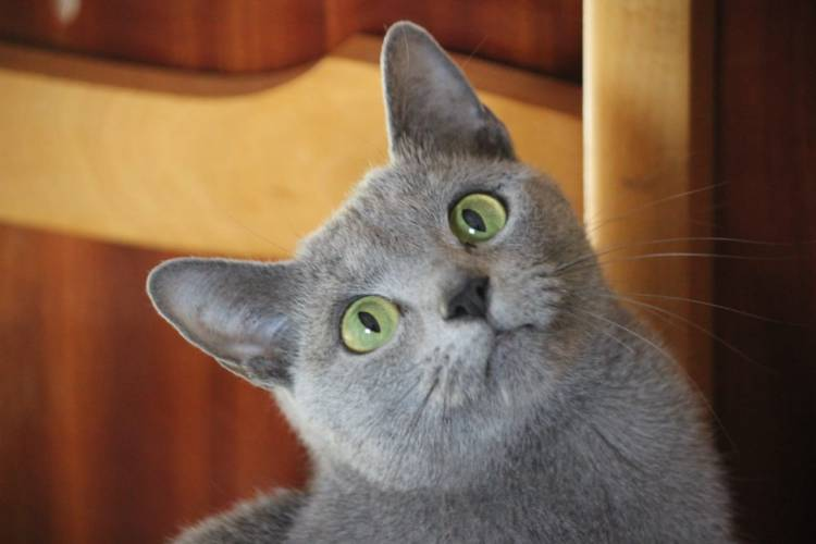 comprar gato azul ruso barcelona russian blue kitten 01