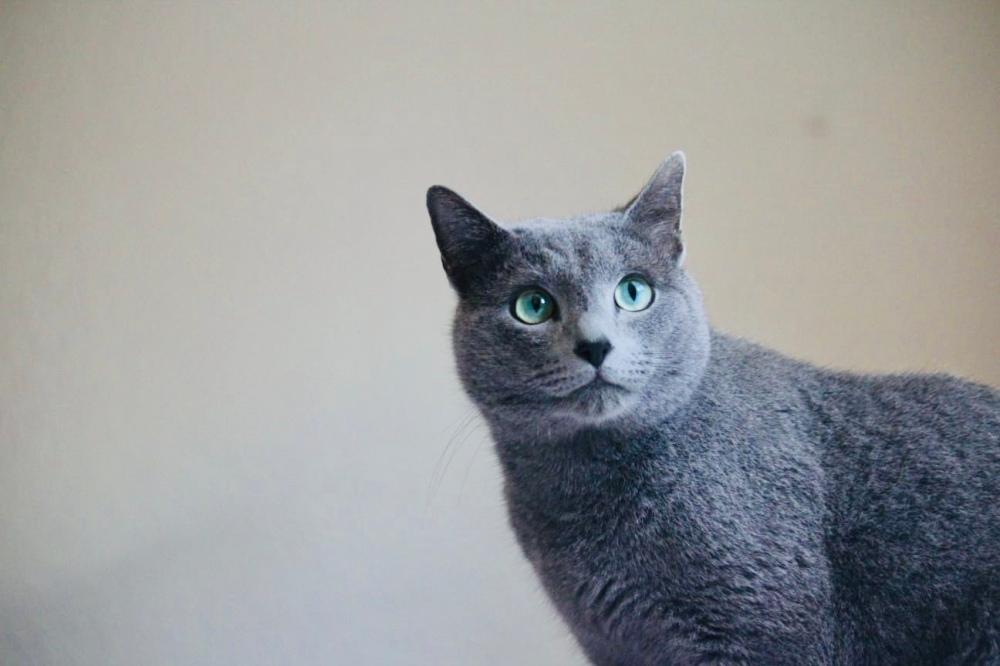 comprar gato azul ruso barcelona russian blue kitten 02