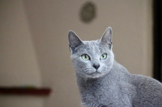 comprar gato azul ruso barcelona russian blue kitten 03
