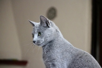 comprar gato azul ruso barcelona russian blue kitten 04