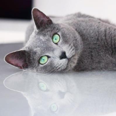 azul ruso barcelona russian blue kitten 01