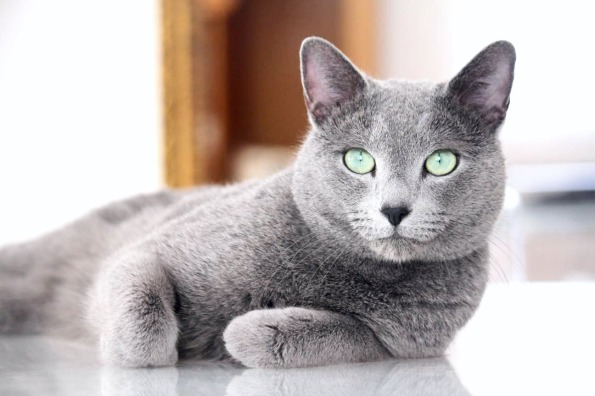 azul ruso barcelona russian blue kitten 02