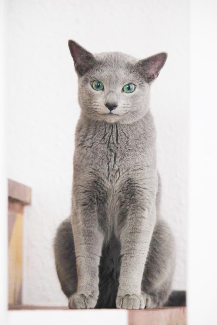 azul ruso barcelona russian blue kitten 03