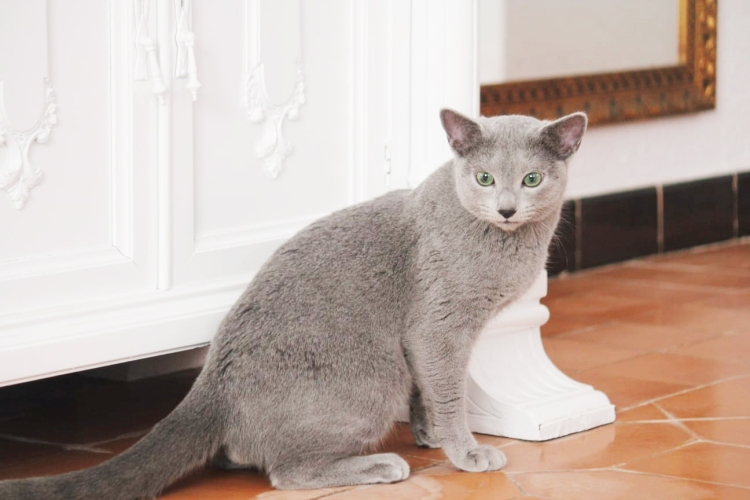 azul ruso barcelona russian blue kitten 04