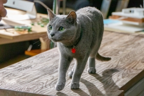 gato anuncio ultima affinity azul ruso barcelona russian blue novacat 00