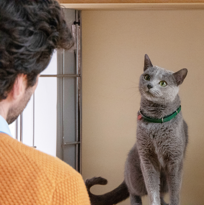 gato anuncio ultima affinity azul ruso barcelona russian blue novacat 01