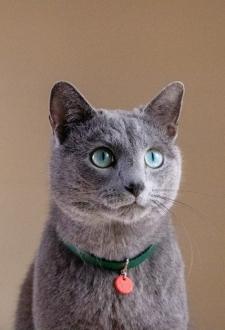 gato anuncio ultima affinity azul ruso barcelona russian blue novacat 02
