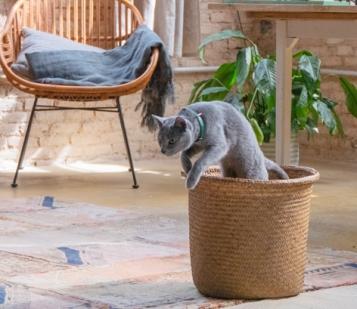 gato anuncio ultima affinity azul ruso barcelona russian blue novacat 05