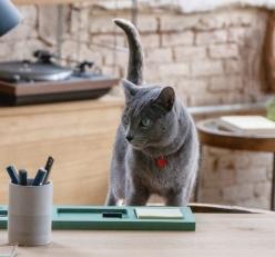 gato anuncio ultima affinity azul ruso barcelona russian blue novacat 06