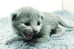 gatito azul ruso barcelona russian blue kitten 01