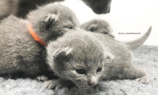 gatito azul ruso barcelona russian blue kitten 02