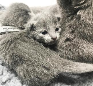 gatito azul ruso barcelona russian blue kitten 03