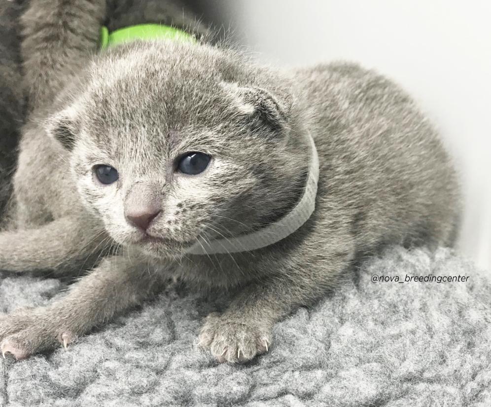 gatito azul ruso barcelona russian blue kitten 05
