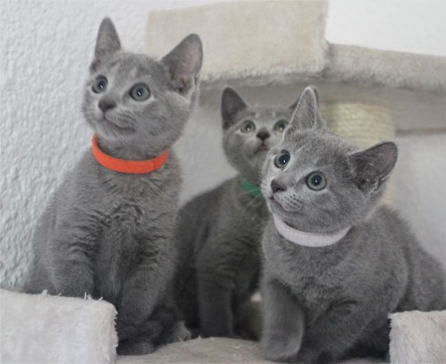 russian blue cat azul ruso barcelona gato gris 01