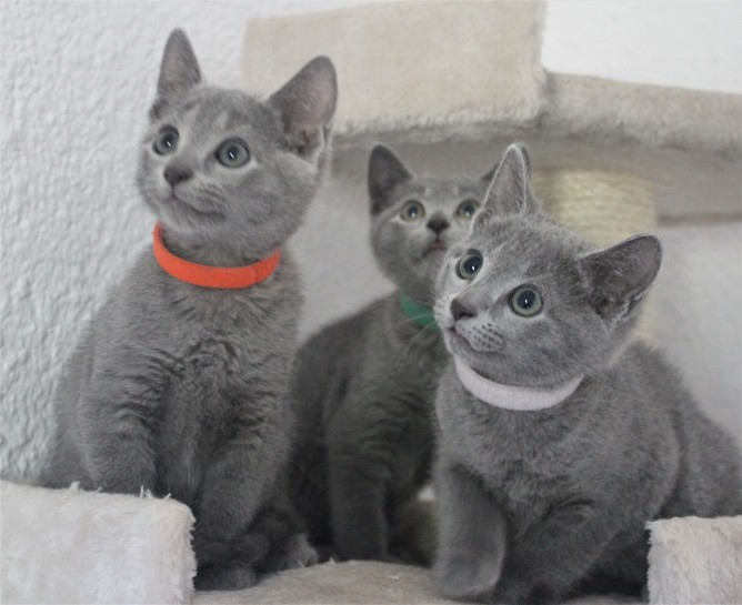 russian blue cat azul ruso barcelona gato gris 01