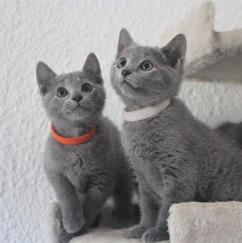 russian blue cat azul ruso barcelona gato gris 02