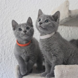 russian blue cat azul ruso barcelona gato gris 02