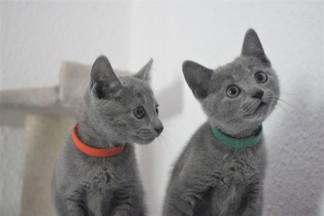 russian blue cat azul ruso barcelona gato gris 03 (2)