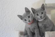 russian blue cat azul ruso barcelona gato gris 03