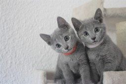 russian blue cat azul ruso barcelona gato gris 03