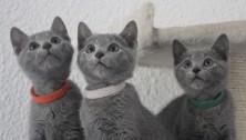russian blue cat azul ruso barcelona gato gris 04