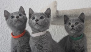 russian blue cat azul ruso barcelona gato gris 04