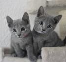 russian blue cat azul ruso barcelona gato gris 05