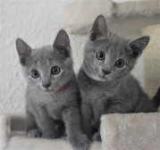 russian blue cat azul ruso barcelona gato gris 05