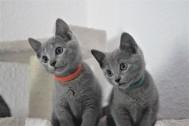 russian blue cat azul ruso barcelona gato gris 08