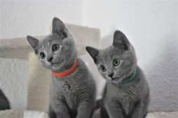 russian blue cat azul ruso barcelona gato gris 08