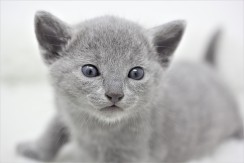 gato azul ruso barcelona russian blue kitten 04