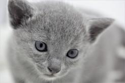 gato azul ruso barcelona russian blue kitten 06