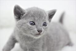 gato azul ruso barcelona russian blue kitten 07
