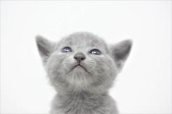 gato azul ruso barcelona russian blue kitten 08
