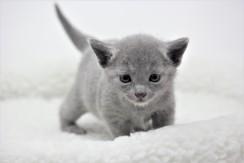 gato azul ruso barcelona russian blue kitten 09