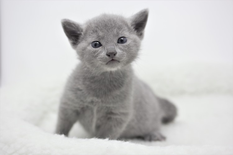 gato azul ruso barcelona russian blue kitten 11