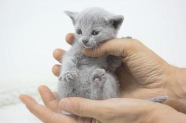 gato azul ruso barcelona russian blue kitten 15