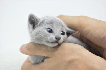 gato azul ruso barcelona russian blue kitten 16