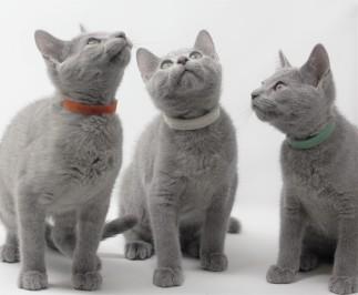 gato azul ruso barcelona russian blue kittens comprar gatito criador 01