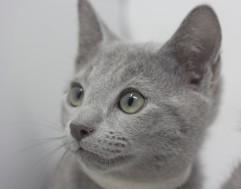 gato azul ruso barcelona russian blue kittens comprar gatito criador 04