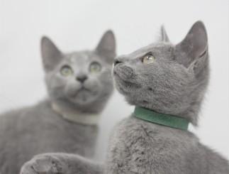 gato azul ruso barcelona russian blue kittens comprar gatito criador 05
