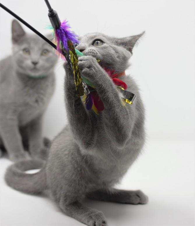 gato azul ruso barcelona russian blue kittens comprar gatito criador 08