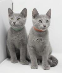 gato azul ruso barcelona russian blue kittens comprar gatito criador 10
