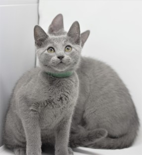 gato azul ruso barcelona russian blue kittens comprar gatito criador 12