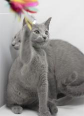 gato azul ruso barcelona russian blue kittens comprar gatito criador 14