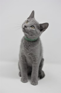 gato azul ruso barcelona russian blue kittens comprar gatito criador 15
