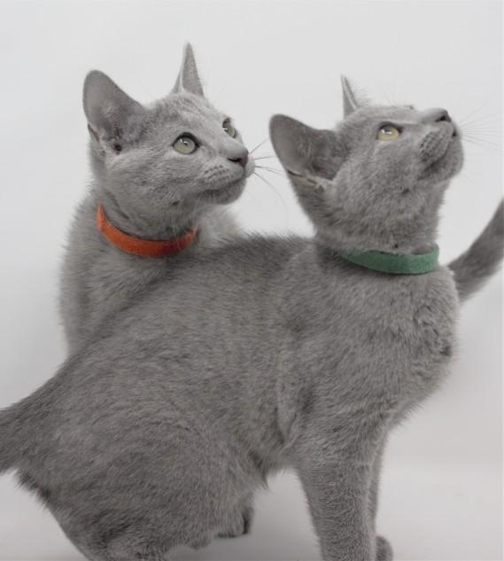 gato azul ruso barcelona russian blue kittens comprar gatito criador 18