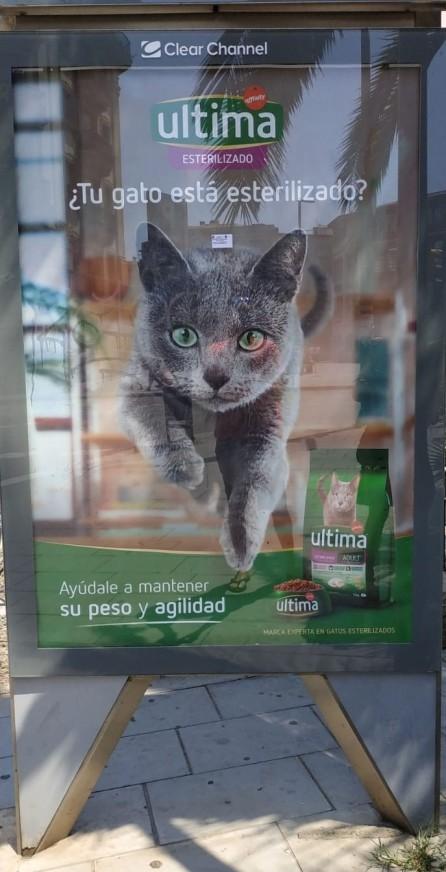 gato azul ruso bacelona russian blue cat Arcadia - publicidad 02