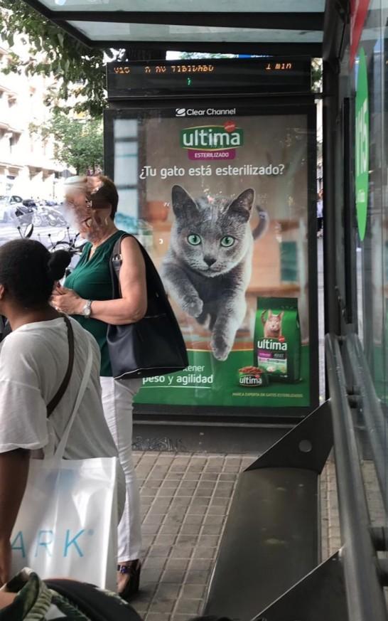 gato azul ruso bacelona russian blue cat Arcadia - publicidad 03